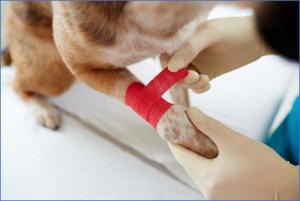 veterinarian bandaging dog leg