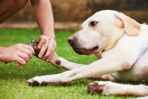 yellow labrador dog laying on grass having toenail trimmed